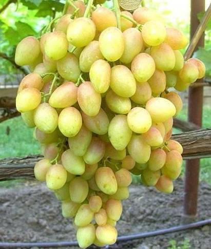 виноград оригинал черный описание сорта фото отзывы