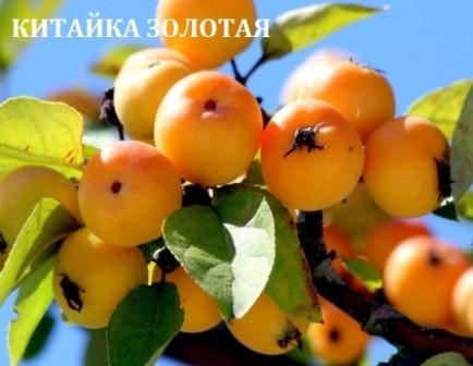 СОРТА ЯБЛОНИ начало | Как растить плодовый сад